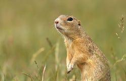 Ground squirrel detail Royalty Free Stock Photos