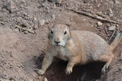 Ground squirrel digging a hole, Animal wildlife. Ground squirrel digging a hole, Desert, Animal photography, Wildlife, Squirrel looking at camera royalty free stock photos