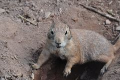 Ground squirrel digging a hole, Animal wildlife. Ground squirrel digging a hole, Desert, Animal photography, Wildlife, Squirrel looking at camera stock photos