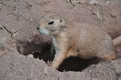Ground squirrel digging a hole, Listening and watching, Animal wildlife royalty free stock photo