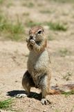 Ground squirrel at eating. Royalty Free Stock Photos