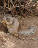Ground squirrel eating a biscuit. By a bush Royalty Free Stock Images
