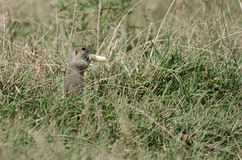 Ground squirrel eating Royalty Free Stock Photo