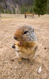Ground Squirrel eating food Stock Photo
