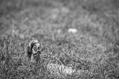 Ground squirrel eating grass in black and white. Royalty Free Stock Image