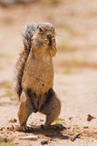 Ground squirrel eating grass roots in the hot kalahari Stock Photo