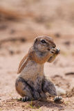 Ground squirrel eating grass roots in the hot kalahari Stock Images