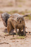 Ground squirrel eating grass roots in the hot kalahari Stock Image