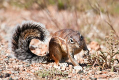 Ground squirrel eating grass seeds Royalty Free Stock Image