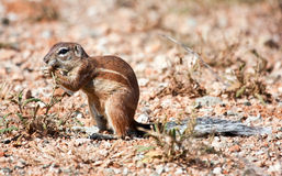 Ground squirrel eating grass seeds Royalty Free Stock Photos
