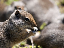 Ground Squirrel Eating Seed Stock Photography