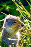 Ground Squirrel Eating Seeds from Grass royalty free stock images