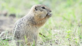 Ground squirrel eating stock video