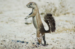 Ground squirrel in Etosha. Namibie Stock Image