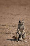 Ground squirrel in Etosha Namibia Royalty Free Stock Images
