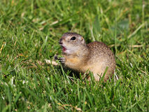 Ground squirrel. European ground squirrel standing on the meadow and Stock Photo