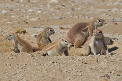 Ground Squirrel Family Stock Images