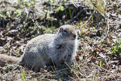 Ground squirrel. Far East, Russia, Kamchatka Peninsula stock images