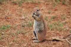 Ground squirrel feeding Stock Photo