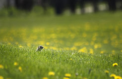 Ground squirrel in field. A thirteen banded ground squirrel peeks above the grass in a field of dandelions Royalty Free Stock Photography