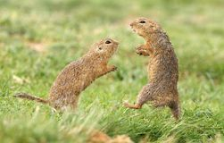 Ground squirrel fight. Two hairy ground squirrels fighting Royalty Free Stock Photography