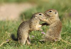 Ground squirrel fighting Stock Image