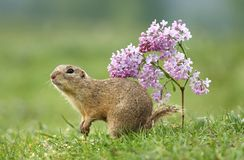Ground squirrel and flower Royalty Free Stock Image