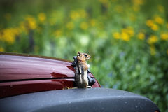 Ground Squirrel Gaurding a Jeep. American Basin is the setting for this image of a ground squirrel surveying his territory.  American Basin is on the Alpine Loop Royalty Free Stock Images