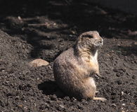 Ground Squirrel Or Gopher Stock Image