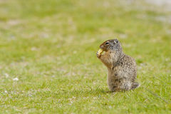 Ground squirrel on grass Royalty Free Stock Images