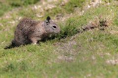 Ground squirrel. On the grass, La Jolla, California, USA Stock Photo