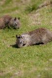 Ground squirrel. On the grass, La Jolla, California, USA Stock Photos