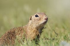 Ground Squirrel in grass with light light stock images