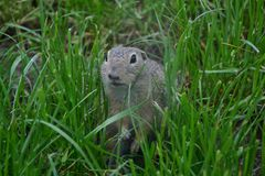 Ground squirrel in grass Stock Photo