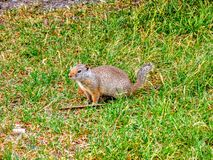 Ground squirrel in grass at Zion& x27;s National Park royalty free stock image