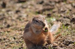 Ground squirrel. Eating grass Royalty Free Stock Image