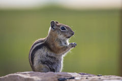 Ground squirrel, Hastings Mesa, Colorado, USA royalty free stock photos