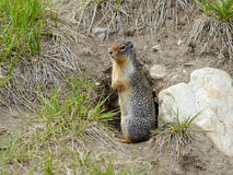 Ground Squirrel. Squirrel at his burrow. Banff National Park, Canada stock photo