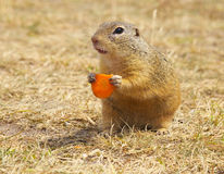 Ground Squirrel Holding Carrot Royalty Free Stock Photos