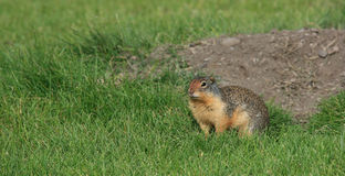 Ground Squirrel by Hole Royalty Free Stock Photography