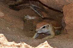 Ground squirrel in its burrow Royalty Free Stock Photography
