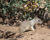 Ground Squirrel Juvenile Royalty Free Stock Images