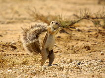 Southern african animals. Ground squirrel at Kgalagadi Transfrontier Park Royalty Free Stock Photo