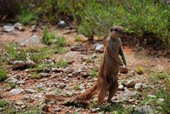 Ground squirrel. Kgalagadi Transfrontier Park. Northern Cape, South Africa Stock Image
