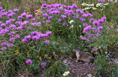 Ground squirrel with landscaped home Royalty Free Stock Photography