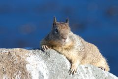 Portrait of a ground squirrel laying on a rock. Ground squirrel laying on a rock, paws holding rock, looking at viewer. The ground squirrels are members of the Royalty Free Stock Image