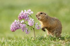 Ground squirrel and lilac Stock Image