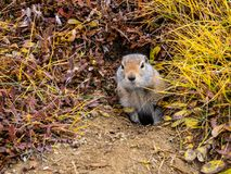Ground Squirrel Looking out of Hole. A ground squirrel in Denali National Park looking out of its hole in the ground royalty free stock image