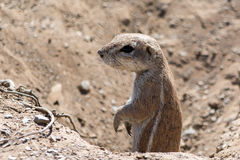 Ground Squirrel looking out of a hole. stock photo