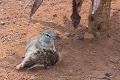 Ground squirrel (Marmotini) grooming Royalty Free Stock Photo